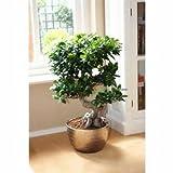Chinesische Seltene Chinesische Feige-Baum-Samen, China Roots Sementes Bonsai Ginseng Banyan...