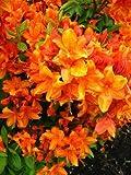 bronzegelb blhende Garten Azalee Rhododendron luteum Golden Eagle 40-50 cm hoch im 5 Liter...