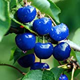 Keptei Samenhaus-10 Stück Selten Großfrüchtige Süßkirsche Saatgut blau Kirsche Samen für Ihre...