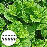 50 Stück/Beutel Basella Rubra Samen Sind Nahrhaft Und Einfach Zu Züchten. Hochertragreicher...