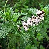 12,5k Samen oder 0,8 Gramm: Spearmint Kräutersamen, Mentha spicata, Non-GMO, Variety Größen,...