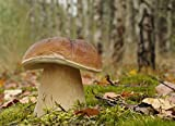 Myzel für Boletus edulis / Gemeiner Steinpilz, zum Pflanzen eigener Pilze