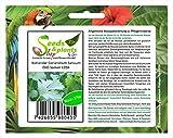 Stk - 275x Koriander Coriandrum Sativum Kräutersamen Saatgut Frisch Neu K204 - Seeds Plants Shop...