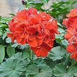 CROSO Keim Seeds Nicht NUR Pflanzen: 3 (zufällige Farbe): 100 STK/Packung Samen Seedss Samen Obst...
