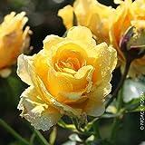 """Kletterrose """"Sommergold (Premium) - Leuchtend goldgelb blühende Topfrose im 6 L Topf - frisch aus..."""