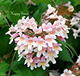 Kolkwitzia Amabilis, Bonsai oder Sträucher Linnaea Amabilis, 30 Samen