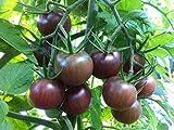 Purple Pearl Tomatensamen 80+ (Solanum lycopersicum) Schokoladenkirsche Bio-Gemüsegemüse Pflanzen...