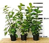 10 x Hecken-Pflanze Kirschlorbeer Novita 50-70 cm hoch im 2 Liter-Topf
