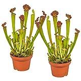 Fleischfressende Pflanze Sarracenia pro 2 Stück - Innen- und Außenpflanze im Aufzuchttopf ⌀6 cm...