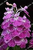 SANHOC 100 Radiata Pflanze Mehrfarben Orchid Bonsai Flores Seltene Orchideen-Blumen Orchid Für...