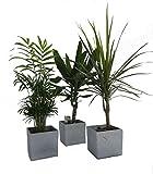 Dominik Blumen und Pflanzen, Zimmerpflanzen Palmen-Trio im Scheurich Würfeltopf grau-stone, circa...