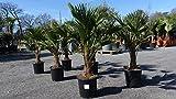 Palme winterhart 100-120 cm Trachycarpus Wagnerianus Wagner Hanfpalme, Top-Qualität