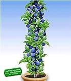 BALDUR Garten Säulen-Pflaumen 'Black Amber', 1 Pflanze, Prunus domestica Säulenobst winterhart...