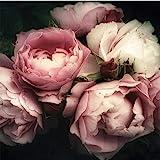 ForWall Fototapete Vlies - Wanddekoration Wandtapete - Blumen Pfingstrose Rosa Rose Schlafzimmer...