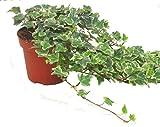 Hedera helix 'White Wonder'- Efeu - echte Pflanze im 13 cm Topf als Hängepflanze, Bodendecker oder...