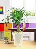 Easy Plants 1 Elefantenfu Pferdeschwanz-Palme Haus Pflanze in glnzendem weiem Rautenmuster...