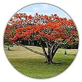 Japanischer Roter Ahorn - Ca. 50 Samen - Baum & Bonsai Geeignet - Acer Palmatum Atropurpureum -...