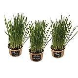 Easy Cat Gras-Set (3er Pack) - einfach Wasser hinzufügen. Enthält zertifizierte...