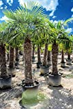 Palmen-Center Hanfpalme Trachycarpus Fortunei, Stammlänge 160-170 cm