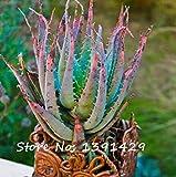 Seltene Schlange Aloe Vera Seeds 100 Stück Regenbogen Aloe Vera Pflanze Kräuter Sukkulente Seed