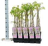 Winterharter Garten Blauregen, Japanischer Blauregen, (Wisteria sinensis), ca. 65cm hoch im 15cm...