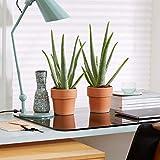 2x Aloe vera Pflanze   Zwei Echte Aloe inkl. Ziertöpfen   Sukkulenten Heilpflanze   Deko Pflanzen  ...