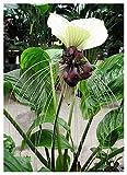 Blumenzwiebel - Nepalesische Riesen-Fledermausblume / 1 Knolle (Tacca nevia white)
