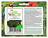 Stk - 50x Petersilie Kräutersamen Garten Haus Frisch F1 Saatgut Neuheit KS201 - Seeds Plants Shop...