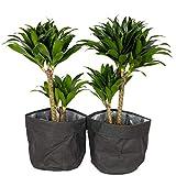 Zimmerpflanzen von Botanicly – 2 × Drachenbaum mit Papier Look Übertopf schwarz als Set –...