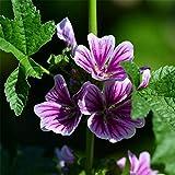 Eantpure Pflanzen für Balkon und Terrasse,Goldene Sonnenblumenkerne blühen in Vier Jahreszeiten -...