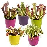 Swampworld Fleischfressende Pflanzen Set - 5 Stück - Venusvliegevalle, Sonnetau und Schlauchpflanze...