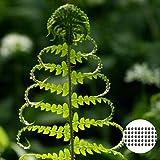 GemüseSamen50Pcs/Bag FarnSamen lebensfähig eisfruchtbare stauende natürliche Bonsai Gemüse...