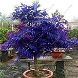 Kalash Neuer 30 PC-Ahornbaum-Samen für Garten Blue 1