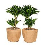 Zimmerpflanzen von Botanicly – 2 × Drachenbaum mit Papier Look Übertopf braun als Set – Höhe:...