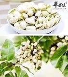 Yukio Samenhaus - 5 Stück Obstsamen echte Pistazie (Pistacia vera) - männliche Pflanze mehrjährig...