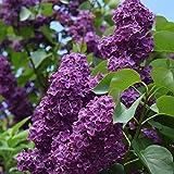 Mllers Grner Garten Shop Flieder Andenken an Ludwig Spth einfache dunkel purpurrote Blte ca. 60-80...