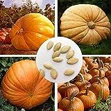 Obstsamen Gemüsesamen20Pcs/Bag Kürbiskerne köstliche Nicht-GVO kompakte riesige süße...