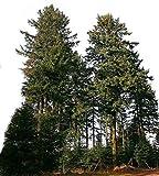 Gewöhnliche Douglasie (Pseudotsuga menziesii) 20 Samen *Größtes Exemplar war 133 Meter hoch*