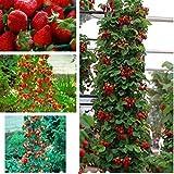 Ferry 100 Stück Red Climbing Samen, Garten Obstpflanze, süß & köstlich