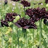 Qulista Samenhaus - 50pcs Rarität Schlafmohn 'Black Paeony' Bio-Samen bienenfreundlich, schwarz...
