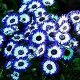 Tomasa Samenhaus- Seltene blaue Gnseblmchen Samen Blumen saatgut winterhart mehrjhrig Blumensamen fr...