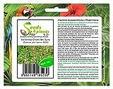 Stk - 30x Basilienkraut Zitrone Mrs Burns Ocimum Kräutersamen Samen Garten Neu KS252 - Seeds Plants...