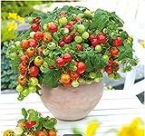 Tomasa Samenhaus- 50 Bio Zwerg-Tomate 'Primabell'Balkongemüse Saatgut Tomaten winterhart...