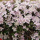Clematis montana 'Rubens' - Mehrjhrige Kletterpflanze