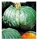 Chioggia marine kürbiskerne - gemüse - cucurbita maxima - zu004 - die besten pflanzensamen -...