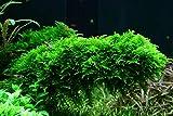 Tropica Aquarium Pflanze Moos Vesicularia dubyana 'Christmas Nr.003ATC in Vitro 1-2 Grow...