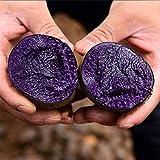 MOCRIS 100 Stück Bonsai Lila Süßkartoffel Köstliche Ernährung Gemüse Grüne Bonsai Hausgarten