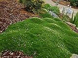 Zierpflanze Dunkelgrn Moss Sternmoos Samen 100Pcs, Bodendecker Landschaft Dekoration Gras Saatgut...