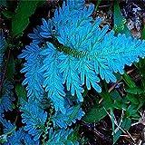 Beautytalk-Garten 50pcs Selten Farn Samen Zierpflanzen winterhart mehrjaehrig Pteridophyta seltener...