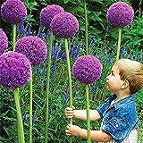 Beautytalk-Garten 10 Pcs Blumenzwiebeln Allium Giganteum Allium Ambassador Allium-organische...
